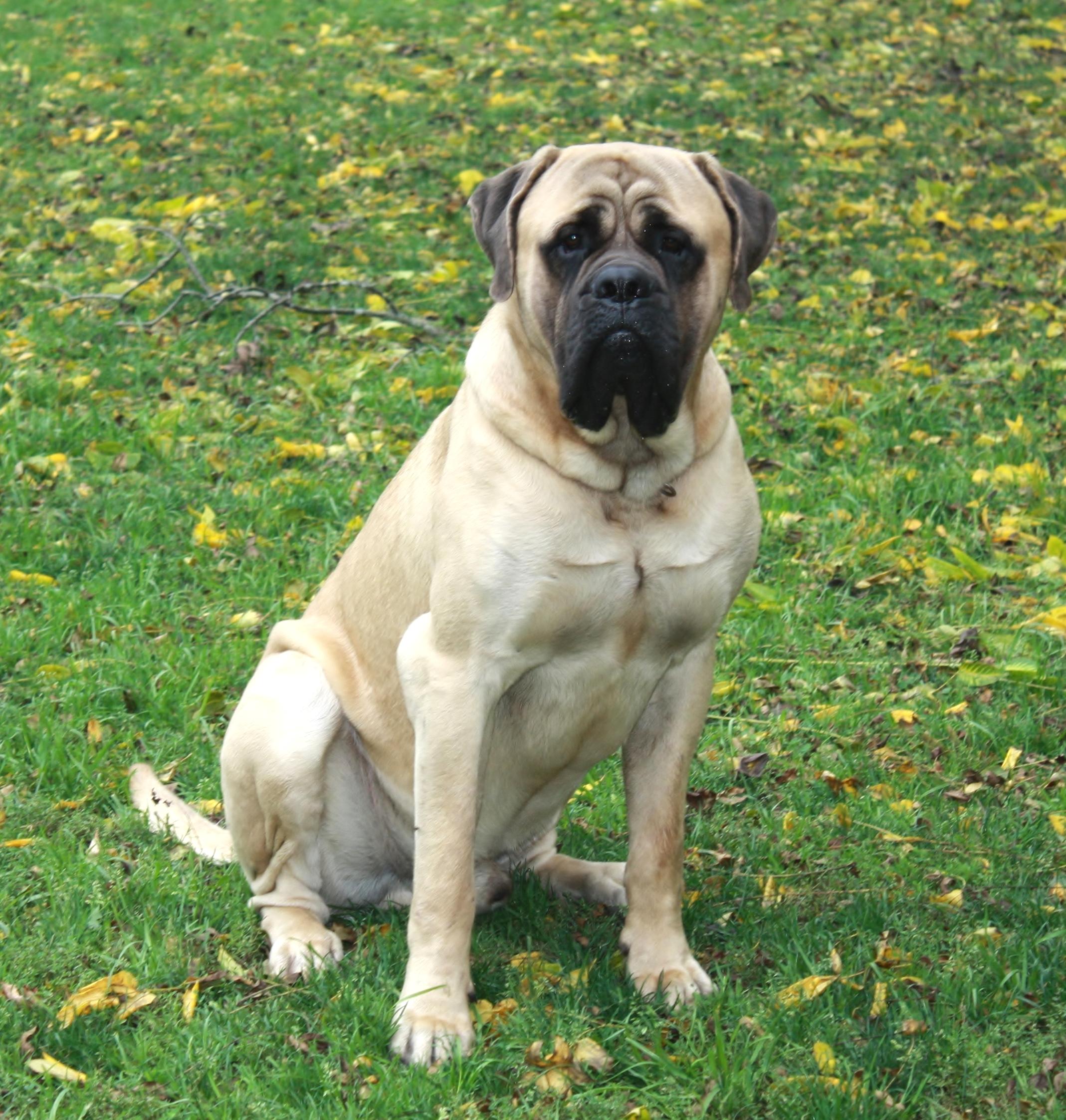 English Mastiff Puppies Puppy For Sale Breeder New York Pennsylvania