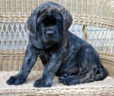 English Mastiff Puppies Puppy for Sale Breeder New York